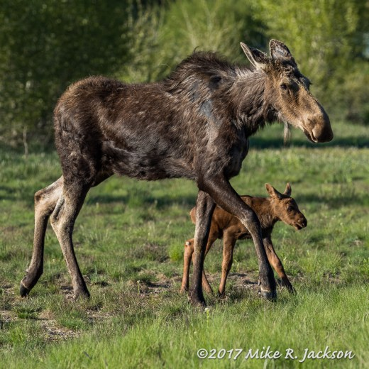 Mother Moose and Calf