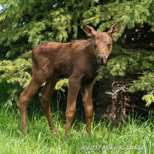 Baby Moose Day 3