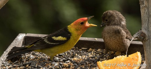 Tanager and Cowbird
