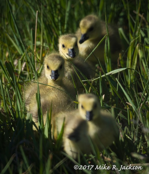 Goslings In Grass