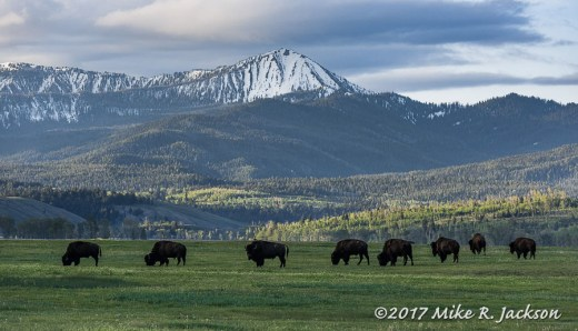 Bison and Mt. Liedy