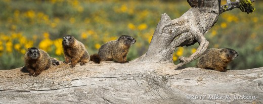 Four Baby Marmots