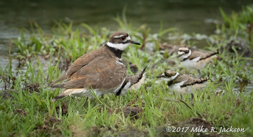 Kildeer and Kids