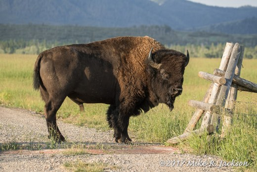 Bison at Cattle Guard