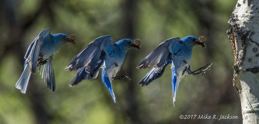 Bluebird Sequence