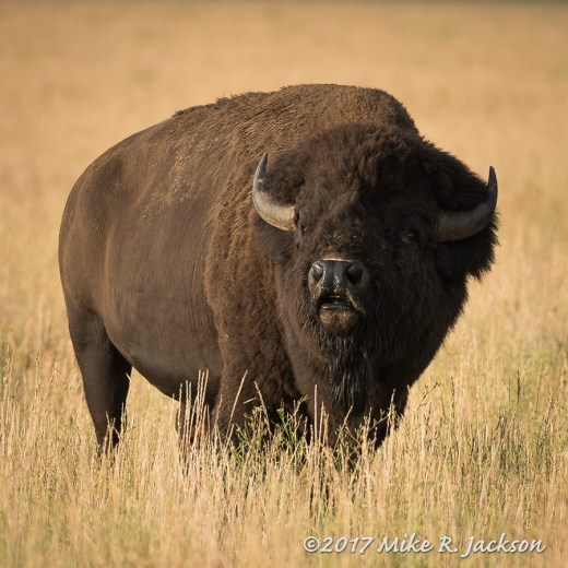 Sunrise Bison