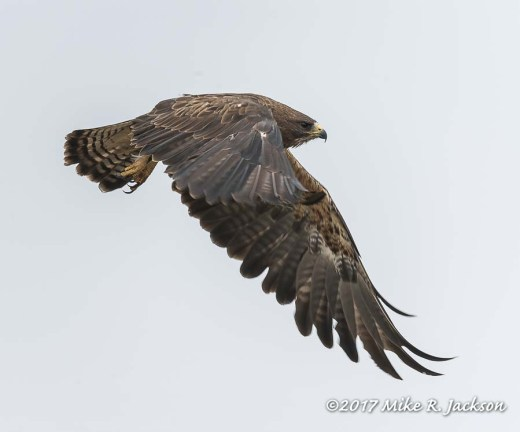 Swainson's In Flight