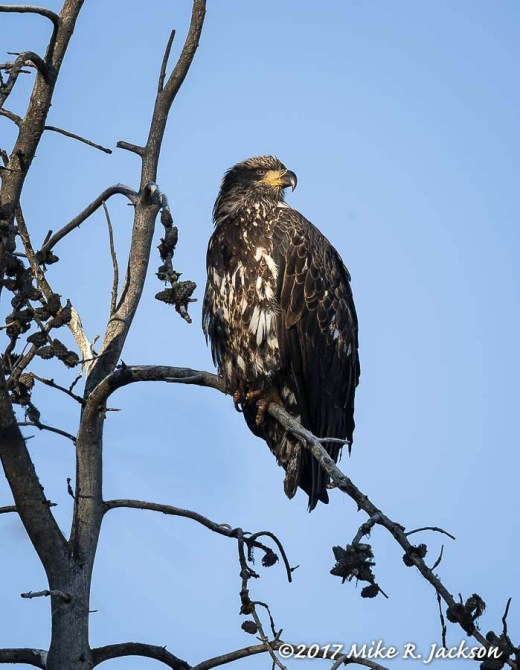 Immature Balk Eagle
