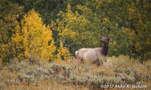 Misty Morning Cow Elk