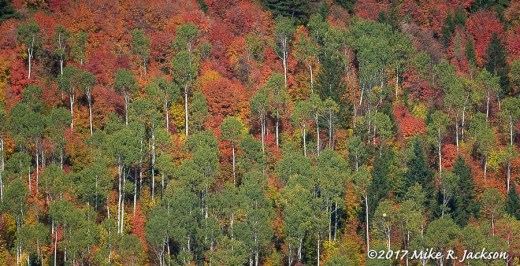 Mountain Maples