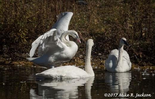 Silver Swan