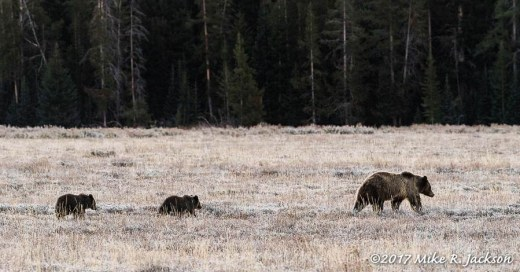 Grizzly Trio
