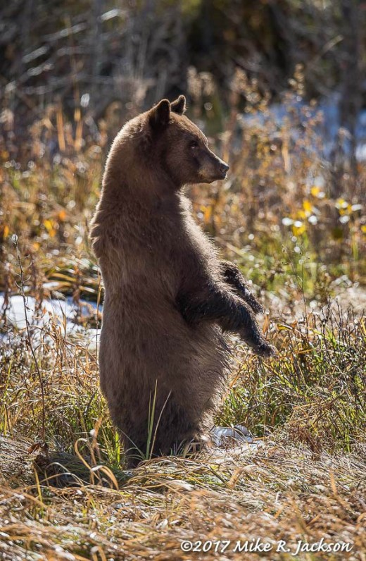 Standing Young Bear