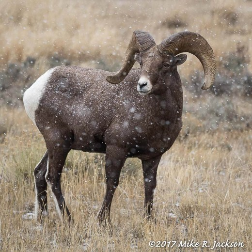 Bighorn Ram with Falling Snow