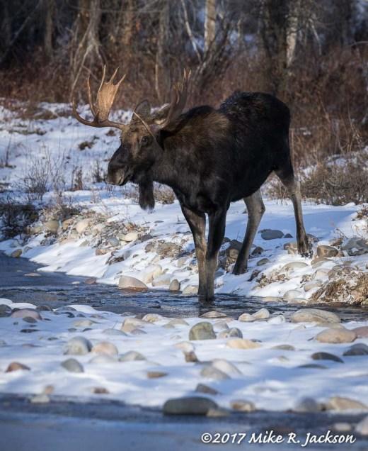 Bull At Water