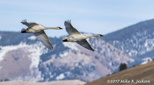 Flying Trumpeter Swans