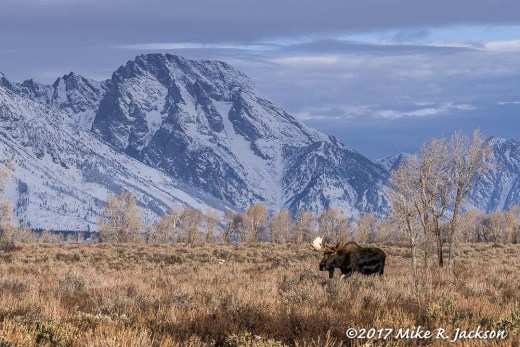 Moose with Mt. Moran