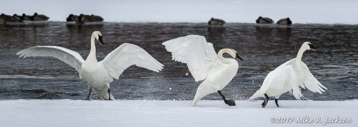 Trumpeter Swan Squabble