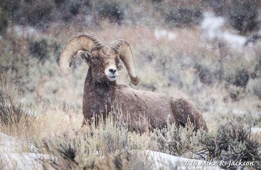 Resting Bighorn Ram