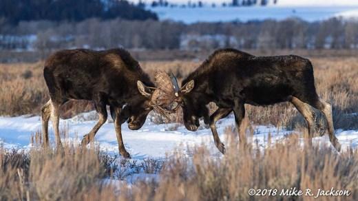 Sparring Moose