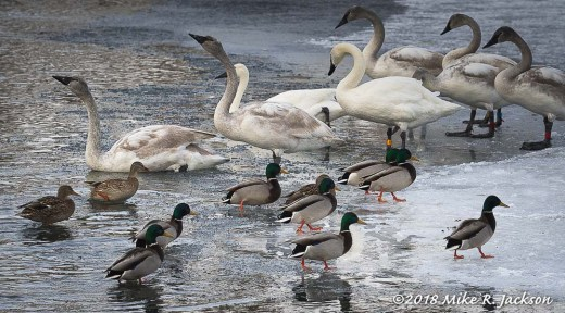 Swans and Mallards