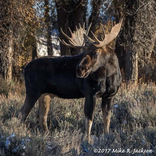 October Bull Moose