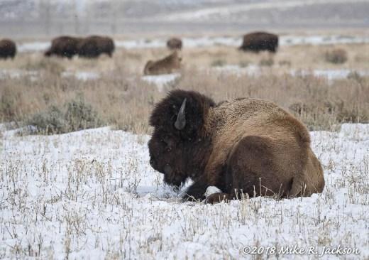 Resting Bull