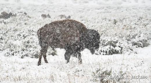 Bison in a Spring Storm