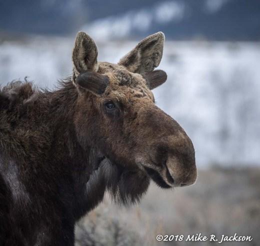 BB Moose