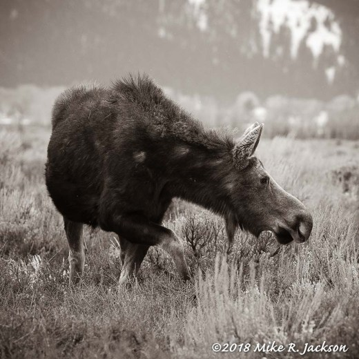 Moose ~ Sepia Tone: