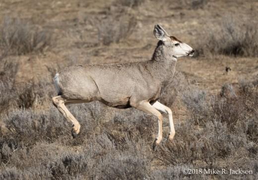 Bounding Mule Deer: