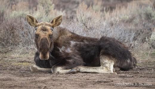 Resting Bull Moose