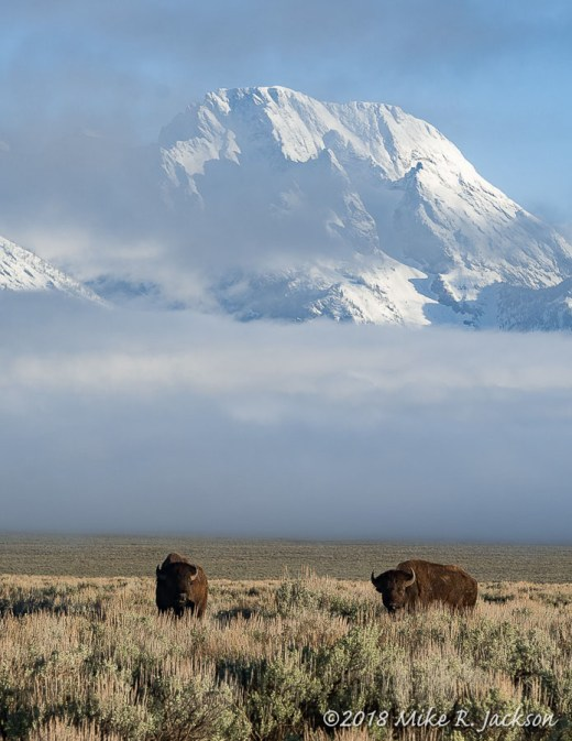 Bison and Morning Clouds