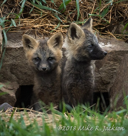 Young Cross Foxes