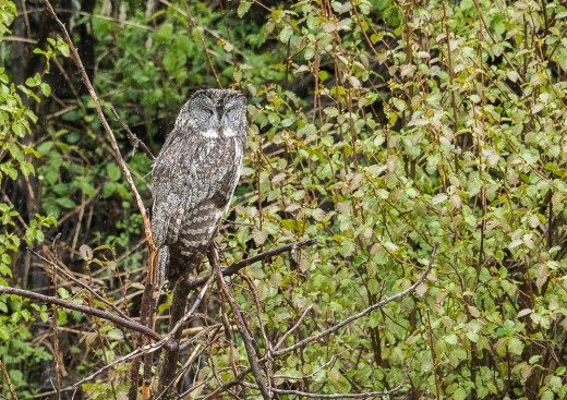 Rain Soaked Great Gray Owl
