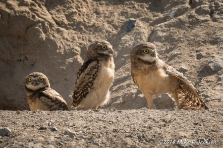Burrowing Owls of Eastern Idaho