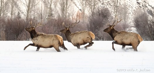 Elk Group on the Run