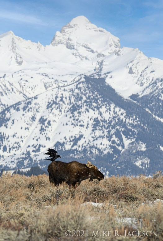 Raven and Bull Moose