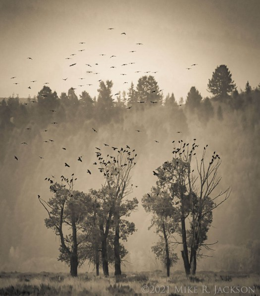 Crows and Cottonwoods