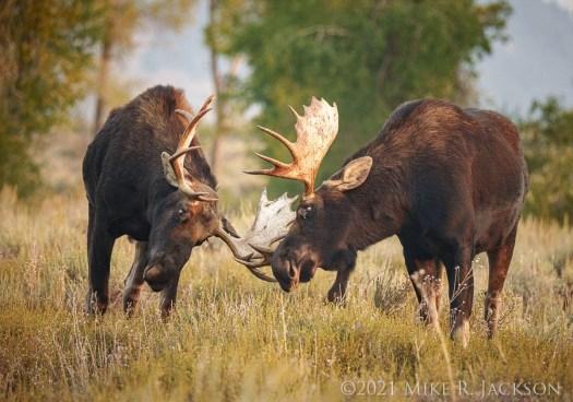 Sparring Bulls