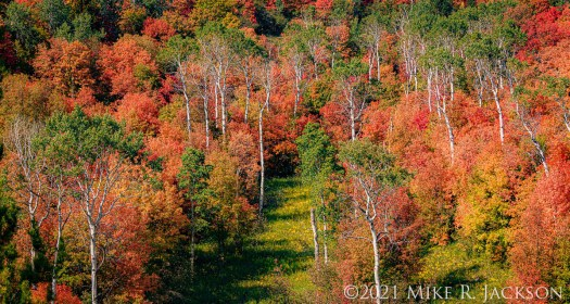 Mountain Maples