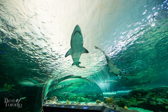 Ripleys-Aquarium-BestofToronto-2013-013