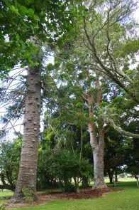 Kauri & Bania Trees, Bay of Islands  Bay of Islands –  Mighty Giants and Tiny Dwarfs 16 IMG 4869 200x300