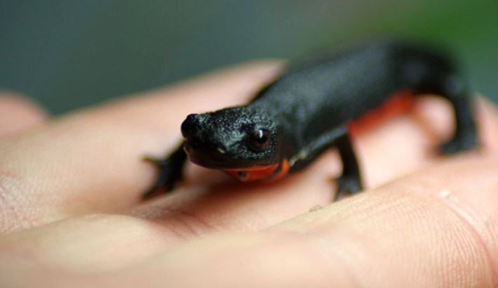 Fire Bellied Newts Care