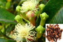 Growing Cloves