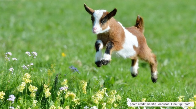 baby goats are so adorbs!