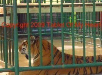 Tiger at Cedar Cove