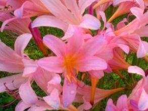 surprise lily