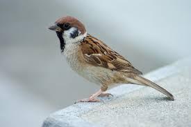http://en.wikipedia.org/wiki/Eurasian_tree_sparrow