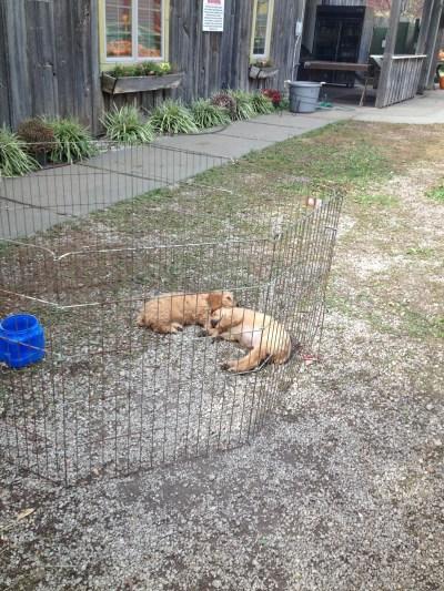 cockapoodle puppies